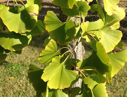 Feature Plant – Ginkgo biloba